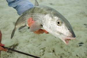 peche bahamas bonefish
